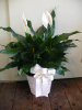 Peace Lily in Basket (shown at $35.00)